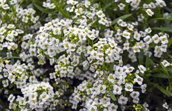 Small white flowers. Many small white flowers on bush Royalty Free Stock Photo