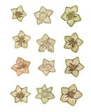 Small white flowers in the shape of a star, hoya isolated vector illustration