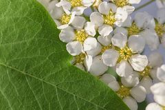 Small white flowers Spiraea cinerea ashen, macro close-up texture floral background. Geometrical proportion of green leaves and. White flowers of spirea royalty free stock images