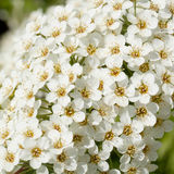 Small white flowers. Spiraea inflorescence with small white flowers royalty free stock images
