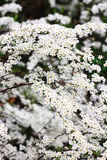 Small white flowers spirea bush. On a green background Royalty Free Stock Photography