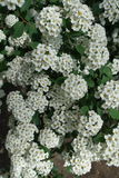 Small white flowers of spirea clustered together in umbrella-like corymbs. Small white flowers of spirea clustered together in umbrella like corymbs Royalty Free Stock Photography