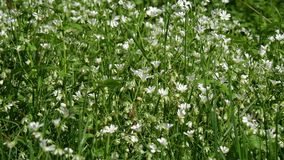 Small white flowers swaying in the wind stock video