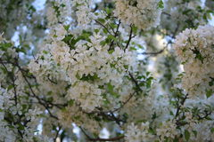 Small white flowers on a tree. A tree with many small white flowers Stock Photography