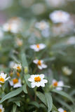 Small white flowers. With yellow stamens in full bloom in the garden stock photography