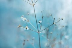 Small white flowers with yellow stamens on a light blue background. The sun`s rays fall on the flowers on a summer day royalty free stock image