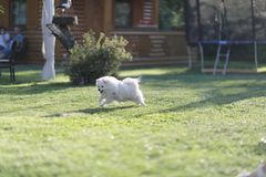 A small white fluffy dog of the Spitz breed. Runs after its shadow stock images