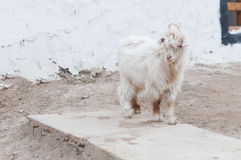 Small white furry baby goat outside house royalty free stock photo