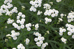 Small white garden flowers Stock Images