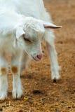 Small white goat Royalty Free Stock Photo