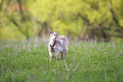 A small white goat grazing chained in a meadow Stock Photos