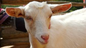 Small white goat portrait stock video footage