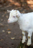 Small white goat Royalty Free Stock Photography