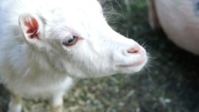Small white goatling stock video footage