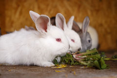 Small white and gray rabbits feed grass in a hutch Royalty Free Stock Photos