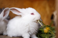 Small white and gray rabbits feed grass in a hutch Royalty Free Stock Image