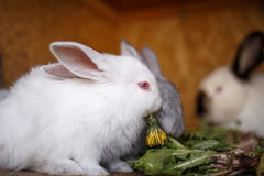 Small white and gray rabbits feed grass in a hutch Stock Photography