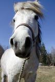 Small white happy pony portrait. Small white happy pony portrait i spring Royalty Free Stock Photos