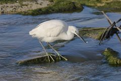 Small white Heron catches small. Fish in the water royalty free stock photo