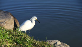 Small white heron at the pure lake. Royalty Free Stock Photography