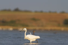 Small white heron in search of fish royalty free stock images