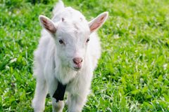 A small white horned goatling walks across a green summer field. Close-up royalty free stock image