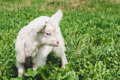 A small white horned goatling walks across a green summer meadow. Close-up stock photo
