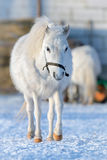 Small white horse in winter Royalty Free Stock Photo