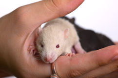 Small white infant rat Royalty Free Stock Images