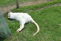 Small white kangaroo sleeping on grass Stock Photo