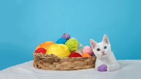 Landscape view kitten with ball of yarn odd eyed different colors. Small white kitten with heterochromia, or odd-eyed, next to a brown basket with colorful balls Royalty Free Stock Photography