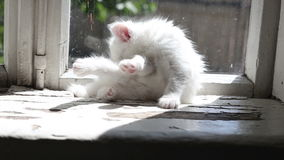 Small white kitten washes stock footage