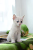 Small white kitten on the windowsill. Cute little white kitten sitting on a window sill Royalty Free Stock Photos