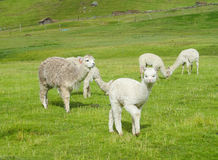 Small white lama. The llama, Lama glama domesticated South American camelid animals on the green meadow in the Andes mountain valley near the river royalty free stock photography