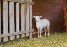 Small white lamb. Little lamb in wooden shelter Stock Photography