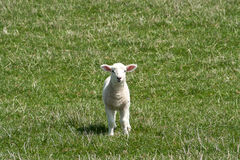 Small white lamb runing towards the camera Stock Images