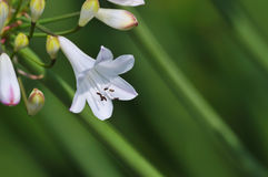 Small white lily on green Royalty Free Stock Photo