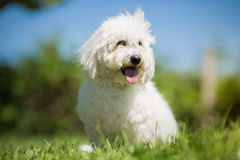 Small white long haired dog portrait. Coton de Tulear Stock Image