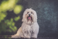 Small white long haired dog portrait. Grunge effect Stock Image