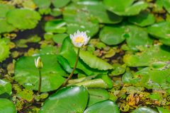 Small white lotus water lily with cover of green leaf. Background in pond at temple in Thailand Stock Photo