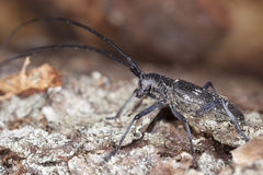 Small white-marmorated long-horned beetle Royalty Free Stock Image