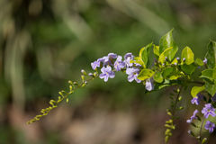 Small white mix violet  flower or  Duranta repens Flower Stock Photography