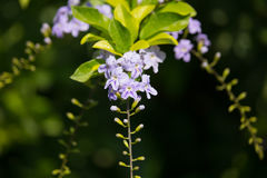 Small white mix violet  flower or  Duranta repens Flower Stock Photos