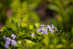 Small white mix violet  flower or  Duranta repens Flower Royalty Free Stock Photo