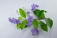Free Small White Mix Violet  Flower Or  Duranta Repens Flower Isolat Royalty Free Stock Photo - 96085705
