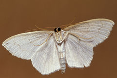 Small White Moth Underside. A small white moth shot from below showing underside Stock Photos