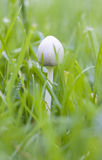 Small white mushroom in grass Stock Photography