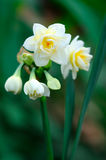Small white narcissus Stock Photos
