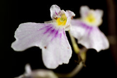 Small white orchid Stock Photography
