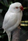 Small white parrot with white eyes Stock Photos